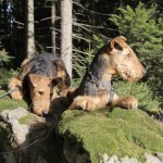 Unsere Airedales